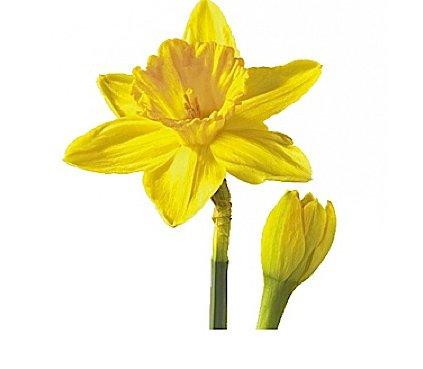 Haiku daffodil